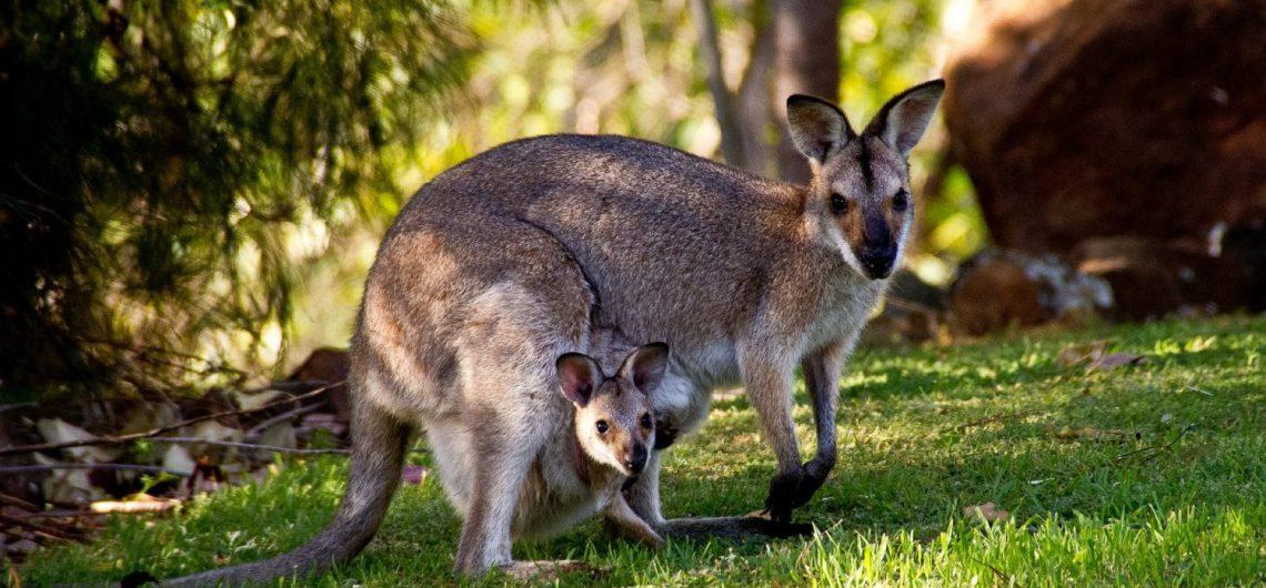 カンガルー、オーストラリア